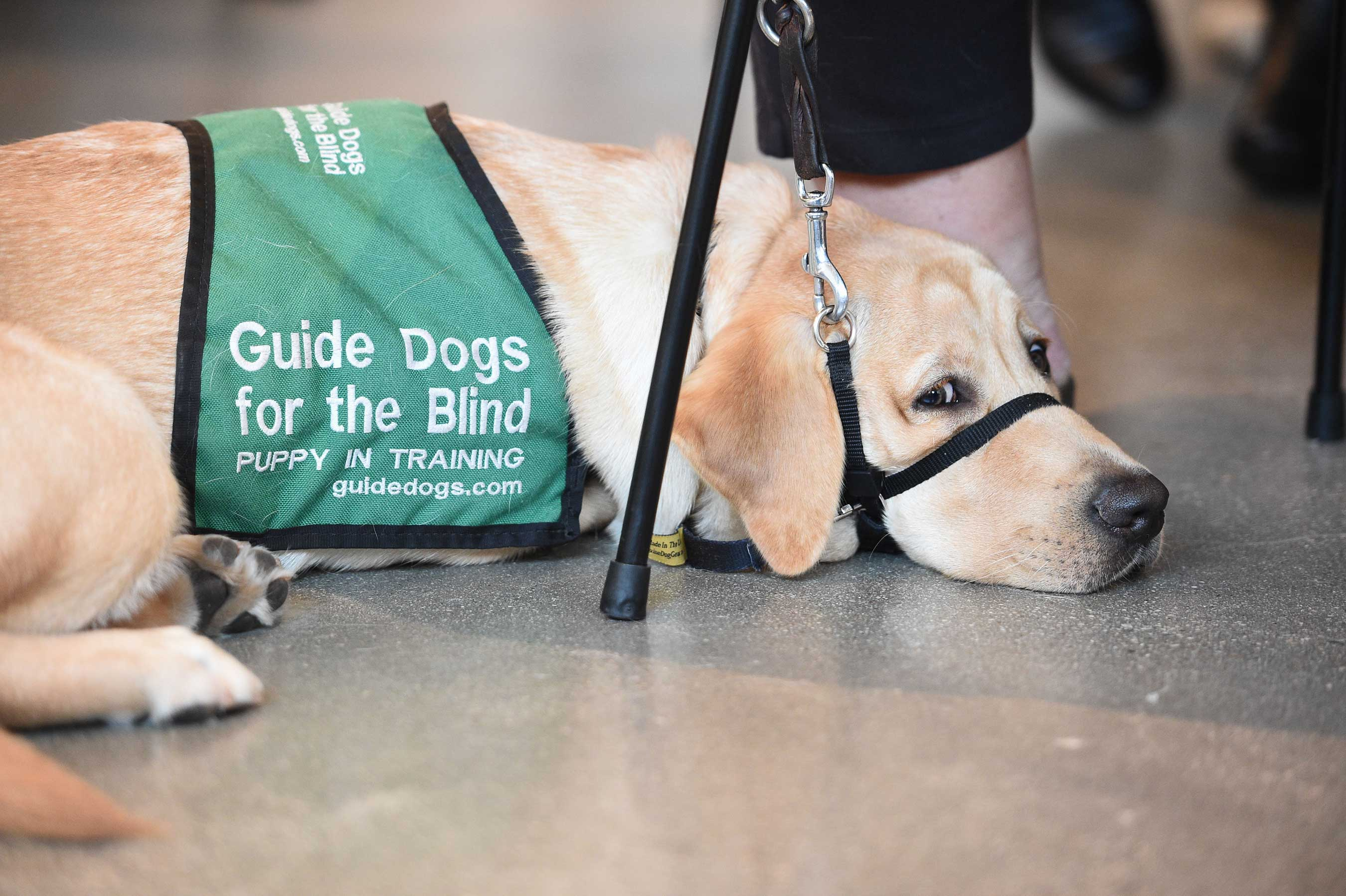 Natural Balance premium pet food brand celebrates the 10-year anniversary of National Guide Dog Month and partnership with Guide Dogs for the Blind with a one-of-a-kind retirement party.