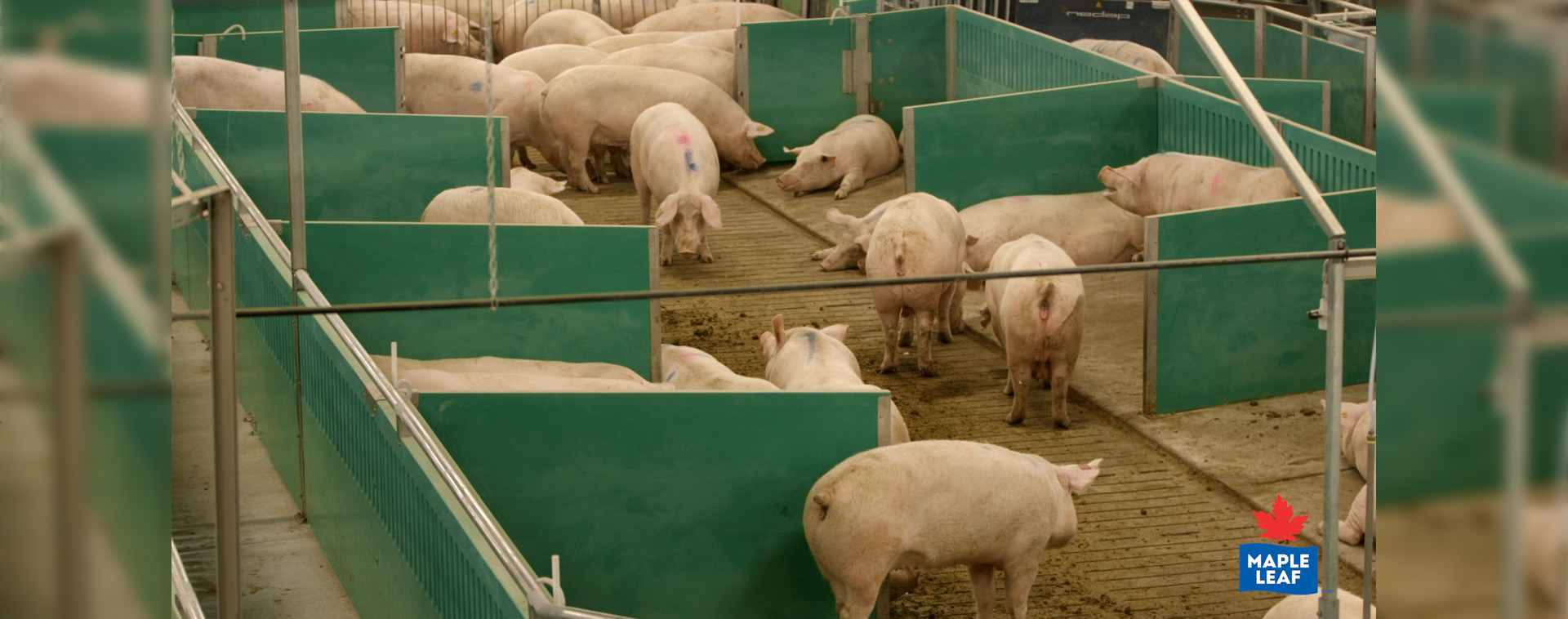 Sows in their building and pens.