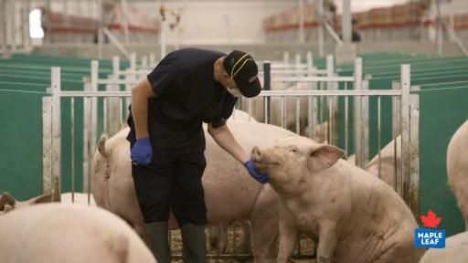 """Maple Leaf Foods animal care provider interacting with a sow in the Advanced Open Sow Housing system."""