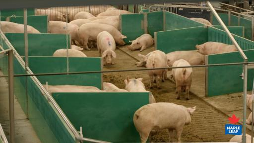 """Aerial view of sows in the Maple Leaf Foods' Advanced Open Sow Housing system from observation deck in barn."""
