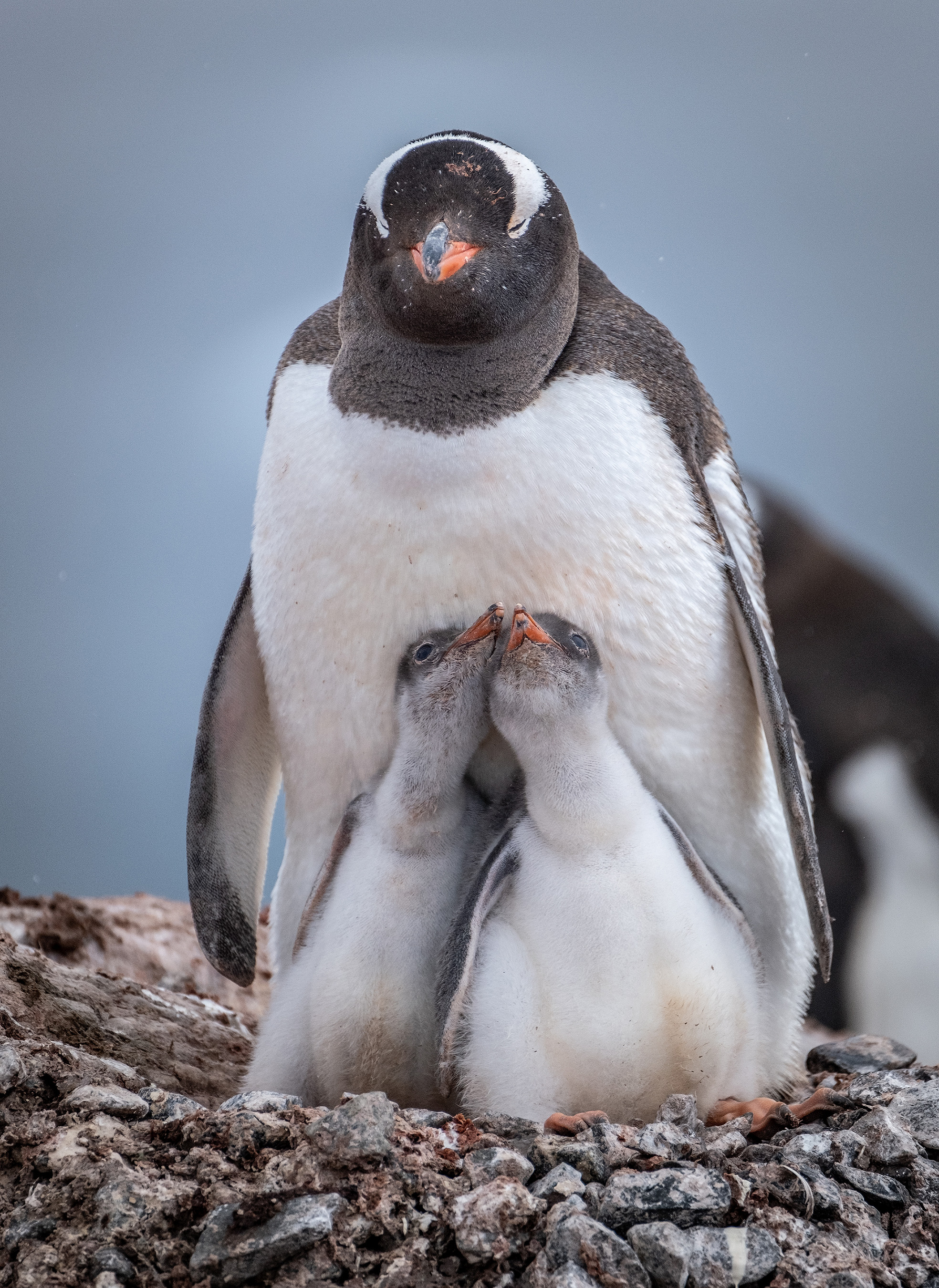During their 10-day excursions, Antarctica21 travelers often spot magnificent sea birds, various species of whales and majestic icebergs - all prior to a memorable shore visit to a penguin colony