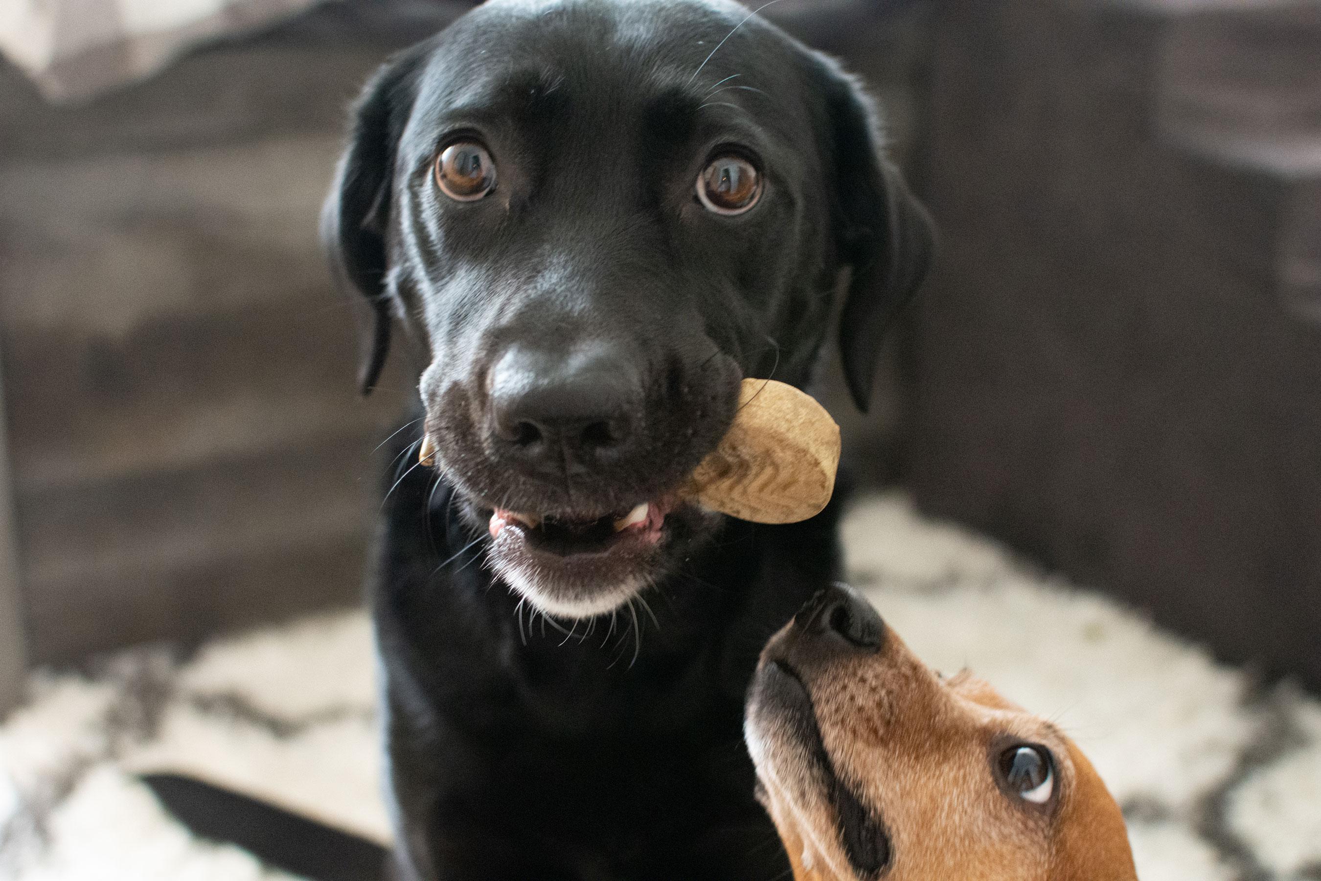Saylor the Labrador enjoying her Redbarn Chew-A-Bulls brush.