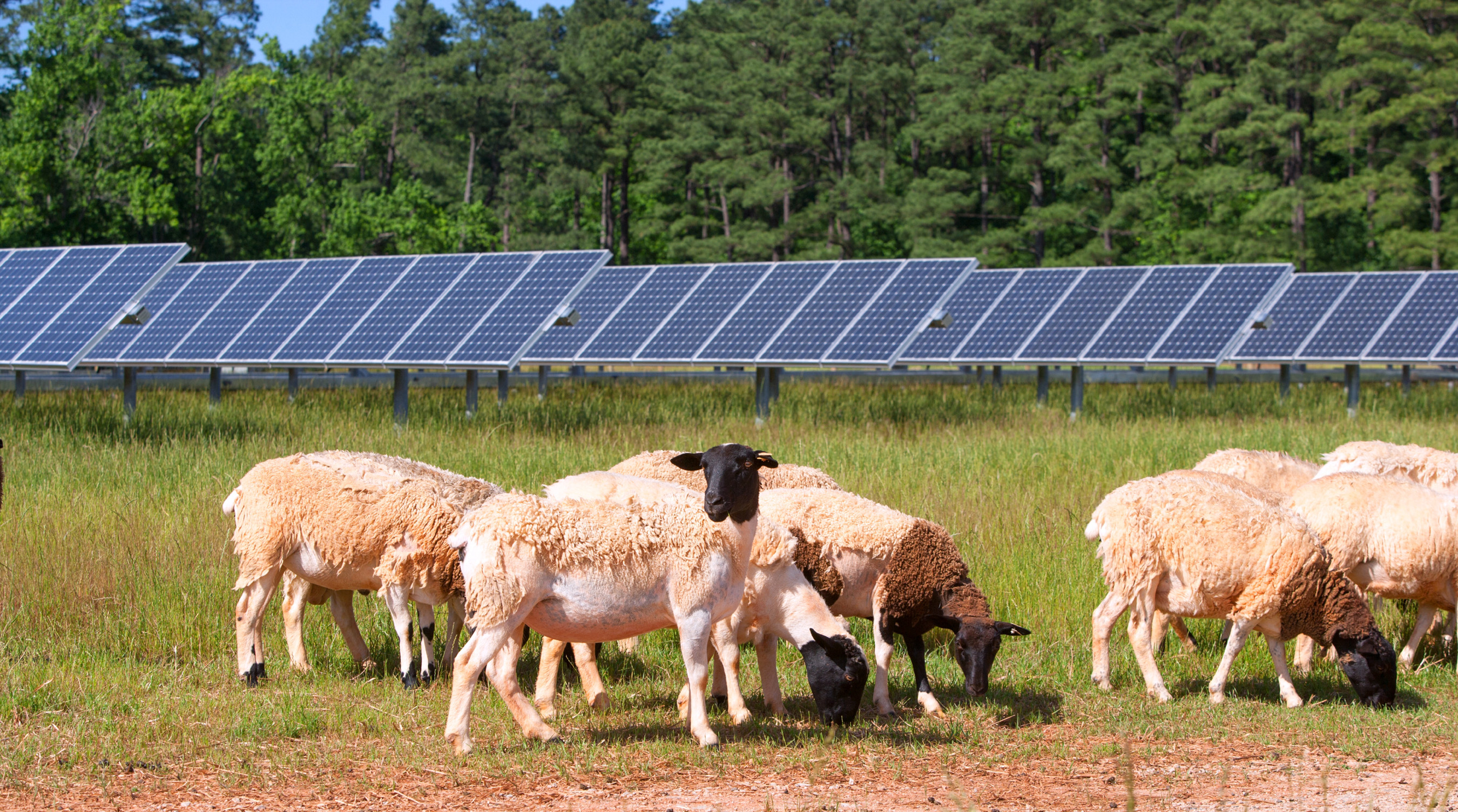 Dorper sheep flock helps to maintain the grass under the SAS solar panels and do so without disturbing the technology or the use of chemicals which also ensures the health of the nearby SAS beehives.