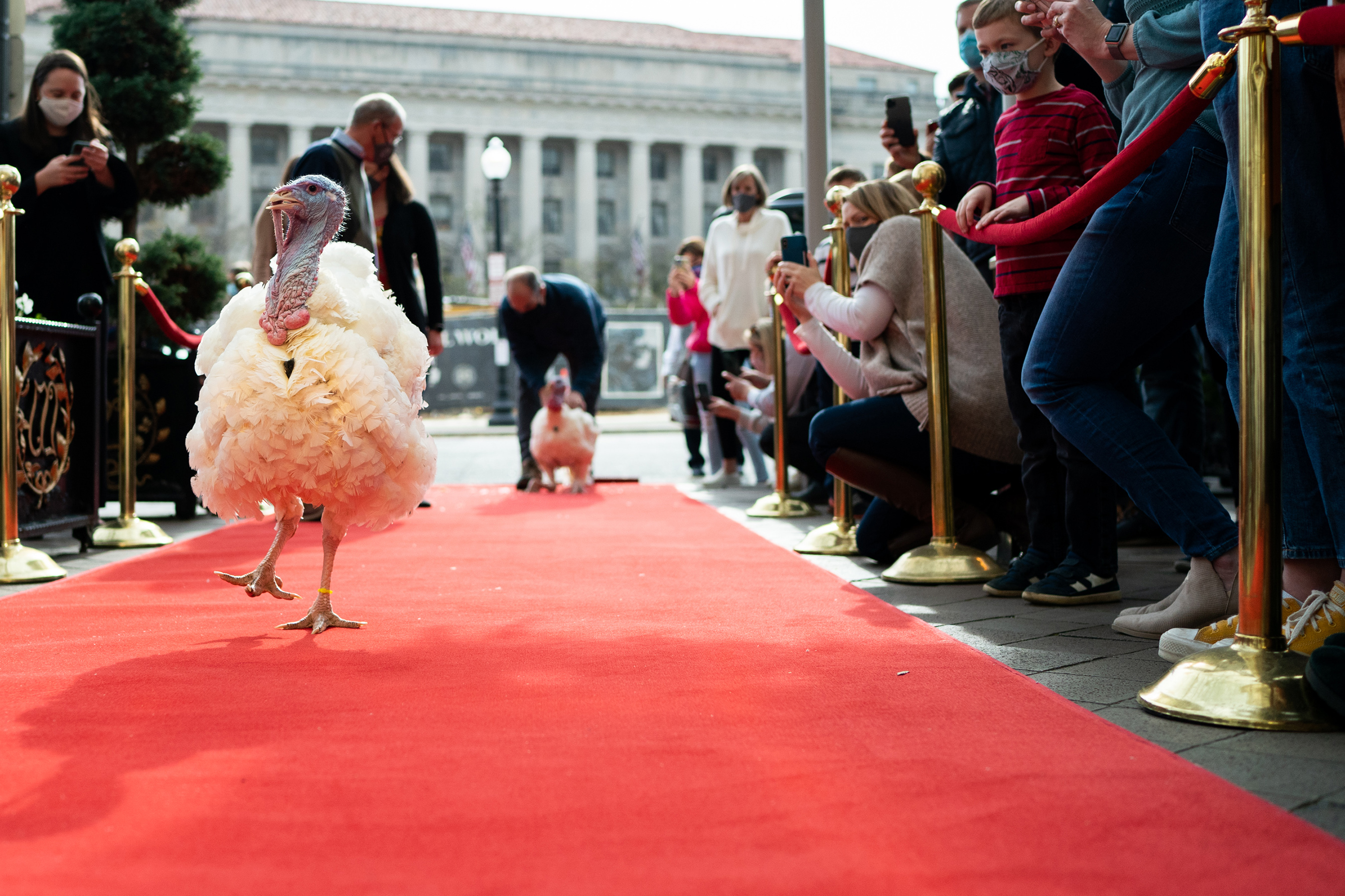 The National Thanksgiving Turkeys walk the red carpet at the Willard Intercontinental Hotel. Photo credit: Andrea Hanks/The White House