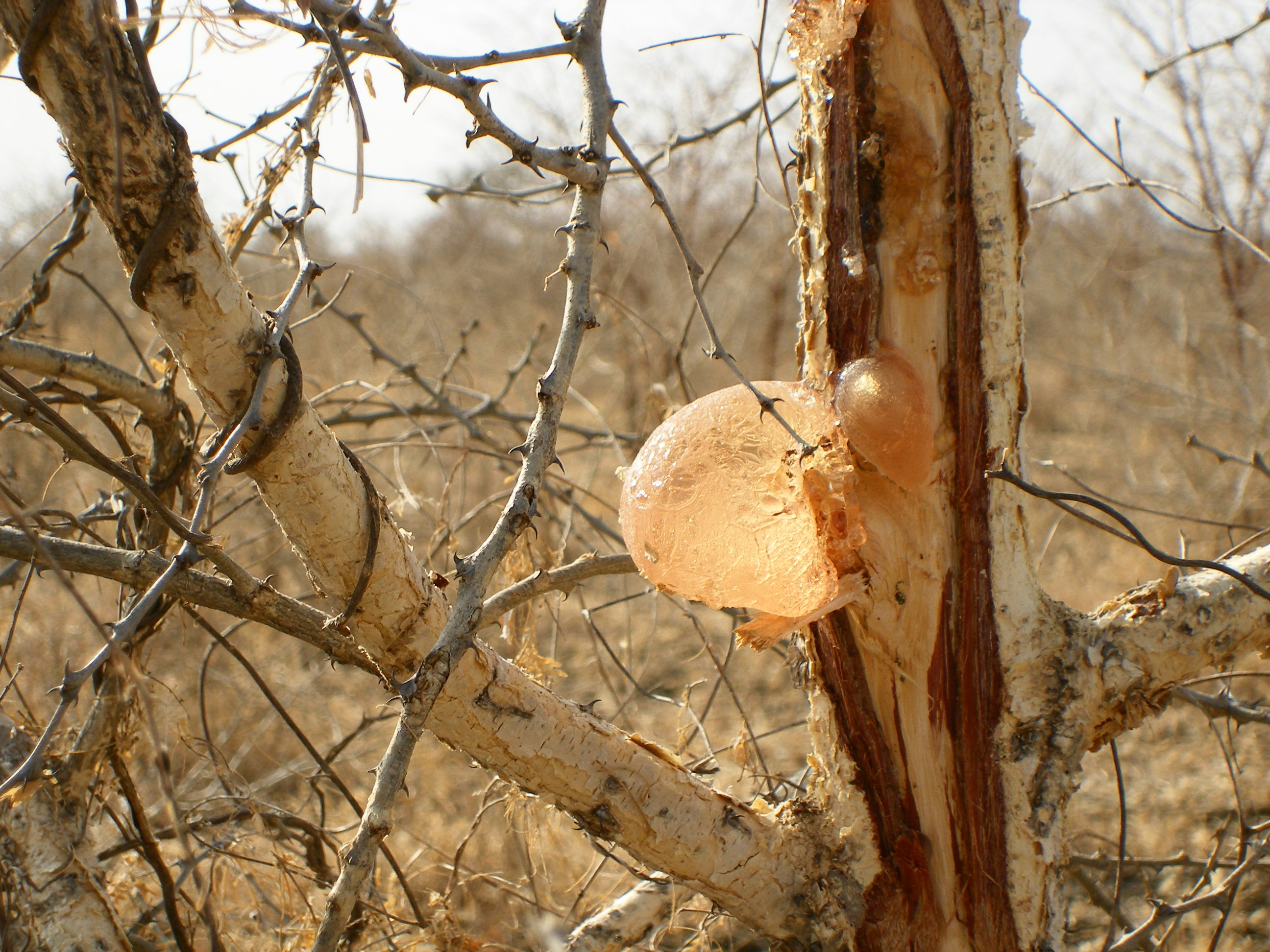 Acacia Gum An Important Social Economic And Environmental Role For