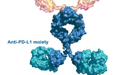 Image of molecule. M7824 is an investigational bifunctional immunotherapeutic that combines a TGF-β trap (yellow) with an antibody against PD-L1 (blue) in one fusion protein. Targeting both pathways with M7824 aims to control tumor growth by potentially restoring and enhancing anti-tumor responses.